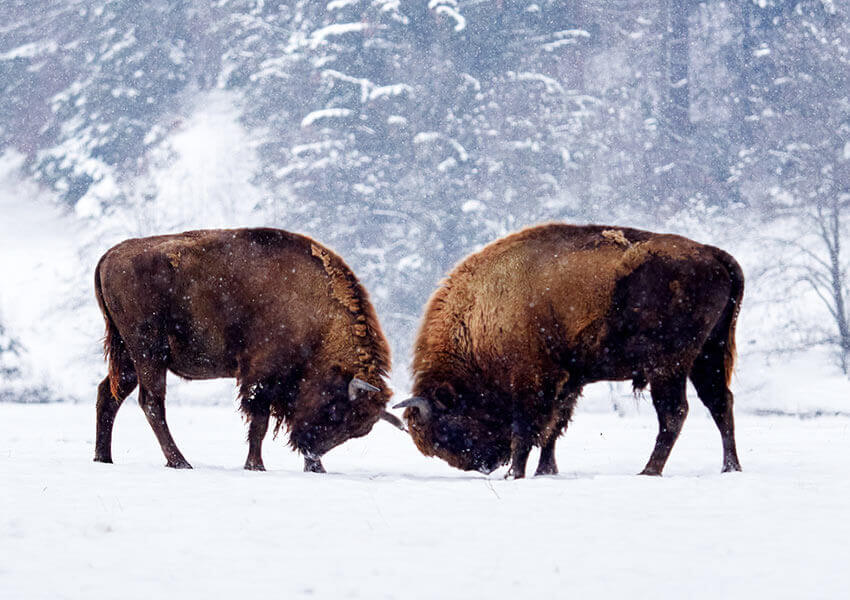 Buffalo Wild Game of Colorado