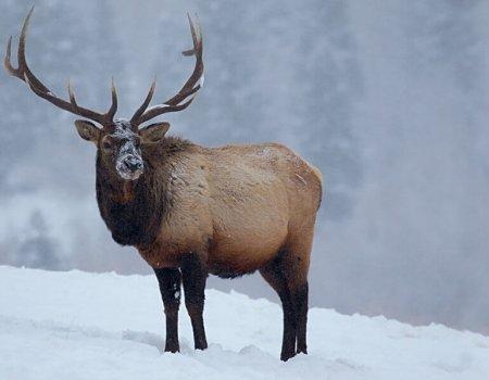 elk wild game of the rockies
