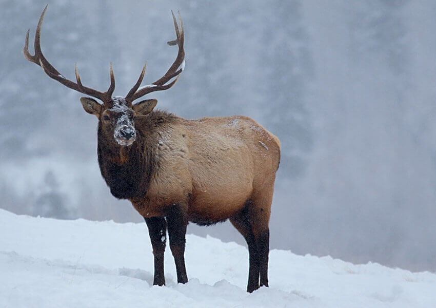 elk wild game of the rockies