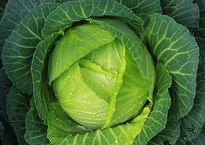 Fall Vegetables: Cabbage