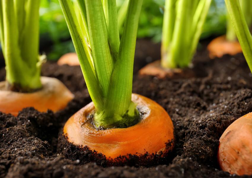Fall Vegetables: Carrots